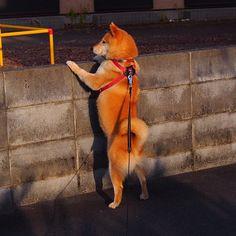 Pinを追加しました!/お友達早くこっちに来ないかな #shiba #dog #komugi #shibe #柴犬