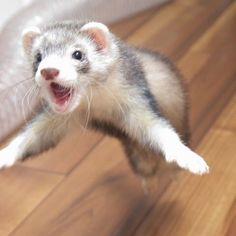 Flying ferreyt... #cute #ferret #smallpet