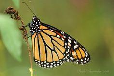 Monarch roosting, re