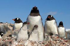 Antarctica penguin chicks
