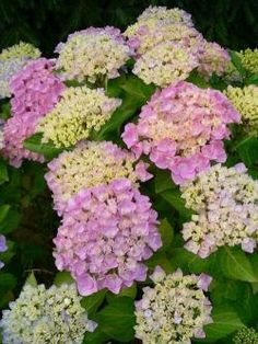 When we got our first garden almost 20 years ago I had only one wish: there should be some hydrangea bushes. I just cannot believe that my hydrangeas...
