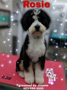 5 month old bernadoodle gets first hair cut at ItzaClip Bernadoodle Puppy, First Haircut, 5 Month Olds, One Hair, 5 Months, Spa Day, Get One, Hair Cuts, Canada