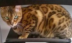 gatto del bengala7
