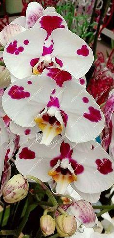 100pcs/bag cymbidium orchid rare orchid seeds bonsai flower seeds semente decorative flowers cymbidium orchid plants for garden