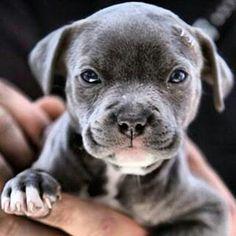 Baby Blue Nose Pitbull Dog