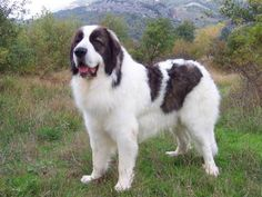 Karakachan (Bulgarian Shepherd Dog) Bulgarian Karakachan Dog / Bulgarian Shepherd or Sheepdog / Karakachanska Ovcharka
