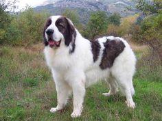 Karakachan (Bulgarian Shepherd Dog) Bulgarian Karakachan Dog / Bulgarian Shepherd or Sheepdog / Karakachanska Ovcharka