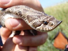 Plains hog-nosed snake. Photo: Jeff LeClere
