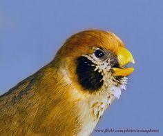 Spot-breasted Parrotbill  ( Paradoxomis guttaticollis ) SYLVIIDAE