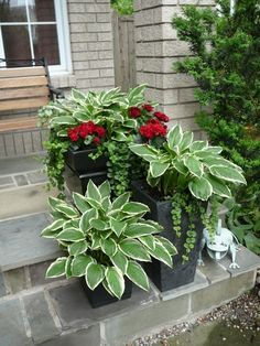 Hostas in a pot. Every spring they will return. | Pins For Your Health