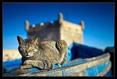 cat morocco - Google zoeken