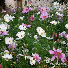 Cosmos bipinnatus v hlavní roli na sklonku léta. Sheffield, Cosmos, Plants, Universe, Planters, Space, Plant, Planting, The Universe