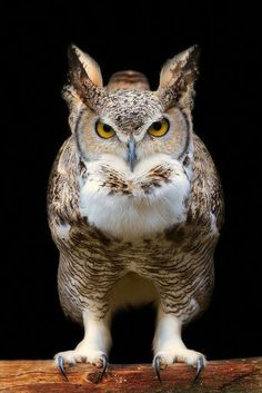 Great Horned Owl by Marcus Pusch. A REAL bird of prey. --- Visit our shop here --- Beautiful Owl, Animals Beautiful, Cute Animals, Funny Animals, Owl Photos, Owl Pictures, Amazing Pictures, Great Horned Owl, Owl Bird