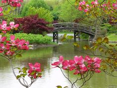 The Drum Bridge in the Japanese Garden Framed by Red Dogwood Blossoms Beautiful Flowers Wallpapers, Beautiful Scenery, Beautiful Landscapes, Beautiful Gardens, Beautiful Places, Amazing Places, Red Dogwood, Garden Frame, Missouri Botanical Garden