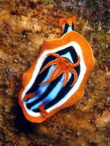 Nudibranch (chromodorid magnifica)... there are over three thousand known…