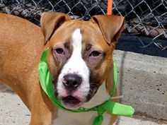 Manhattan Center BLUE – A1038495 MALE, TAN / WHITE, AM PIT BULL TER MIX, 8 mos OWNER SUR – EVALUATE, NO HOLD Reason COST Intake condition EXAM REQ Intake Date 06/02/2015