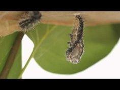 Caterpillar to Butterfly video