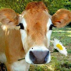 In celebration of Summer we give you: Daisy the worlds most gorgeous cow