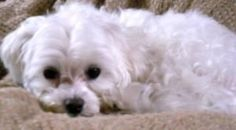 MISSING: Mountain Brook, AL  Wilderness Road near Cherokee Bend Elementary School  CONTACT: (205) 821-0888    Missing my small white male maltese who is 2 years old. He was wearing a blue collar with no tags and is neutered. He went missing on Wilderness Road near the Cherokee Bend Elementary School in Mountain Brook Alabama. He is a big sweetheart and loves to cuddle. Please contact me if you know any information or have seem him around anywhere. The reward is now $800 for his return.