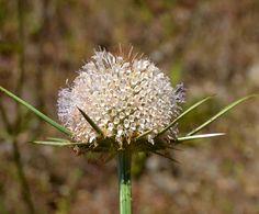 Cardo-penteador-de-folhas-recortadas (Dipsacus comosus)