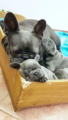It's a little Frenchie Family! www.bullymake.com