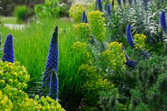 Michael McCoy uses blue Echium, lime Euphorbia, rosemary and grasses to great… San Gabriel, Mediterranean Plants, Australian Garden, Garden Structures, Drought Tolerant, My Flower, Beautiful Gardens, Gardening Tips, Perennials