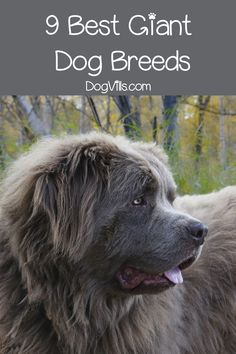 Top 9 Best Giant Dog Breeds Are you in love with gentle giants as much as we are? Then you'll adore our list of the top 9 best giant dog breeds! Check it out! Best Big Dog Breeds, Best Big Dogs, Giant Dog Breeds, Giant Dogs, Popular Dog Breeds, Chiens Bull Mastiff, Mastiff Dogs, Cold Weather Dogs, Food Dog