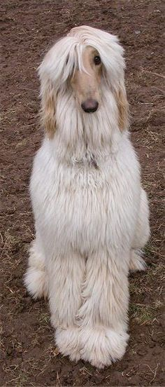 Afghan hound saying, 'where's the DecoFun bow for my neck?  via @KaufmannsPuppy
