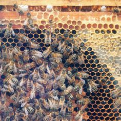 Bees and Honey.  Had my own hive for years .then, the bear found it.  So gave to another who has electric fencing.
