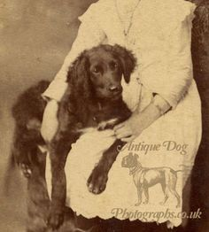 The Antique Dog Photograph Gallery: The Spaniels and the Siblings - find out the story behind this photograph here: http://www.antiquedogphotographs.co.uk/2013/04/the-spaniels-and-siblings.html