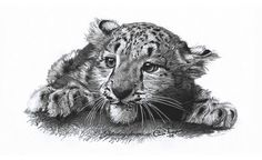 Drawing of Baby Snow Leopard