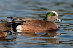 8f6afee6594 Seen at the Brookwood library park 02-03-2015 · Duck SpeciesDucks UnlimitedMandarin  ...