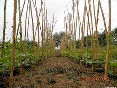 Φασόλια σπορά φύτεμα καλλιέργεια Cool Plants, Athens, Vineyard, Outdoor Structures, Gardening, Decor, Decoration, Vine Yard, Lawn And Garden