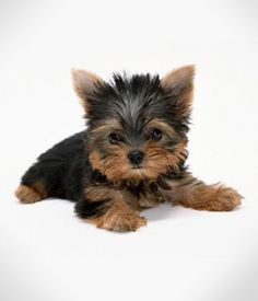 Yorkshire Terrier breed info,Characteristics,Hypoallergenic:Yes