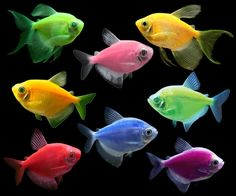 The GloFish Tetra Complete collection includes all all six fish from the Tetra Basic collection, plus the new long-fin tetras. Save 10% compared to buying each fish individually.  This package includes a total of eight fish to liven up your aquarium: Long-Fin Electric Green® Tetra, Long-Fin Sunburst Orange® Tetra, Starfire Red®  Tetra, Sunburst Orange® Tetra, Electric Green® Tetra, Cosmic Blue® Tetra, Moonrise Pink® Tetra, Galactic Purple® Tetra.