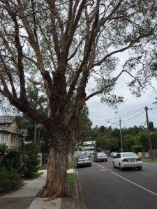 Balmoral Brisbane locksmith Paperbark trees at Balmoral