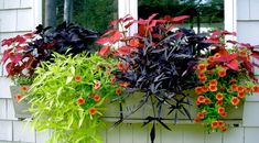 Batat (Ipomoea batatas), sötpotatis för prydnad. Odlas som annuell hos oss och trivs utmärkt i den intensiva hettan som sommarblomma i våra krukor och samplanteringar. Batat är en perfekt komboväxt. Det vackra bladverket, med intensiva färger i lime eller purpur/svart, är en fyllare utan dess like!