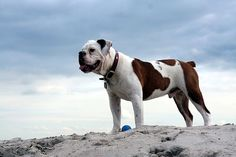 Olde Victorian Bulldogge