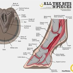 All the Bits 'n Pieces [Part – Equine Hoof Anatomy Just when you thought we'd explored just about every part (and layer) of the horse, we've found another!