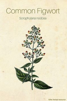Common Figwort (Scrophularia nodosa).  Devil's claw, foxglove, laxative , increases renal excretion of Uris acid but safety precarious
