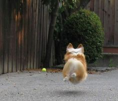 Oh, and also? When they think no one's watching, corgis fly. FLY. | Irrefutable Proof That Corgis Are Actually Secretly Superheroes