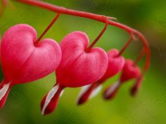 I love bleeding heart plants.  I have one like this and a white one
