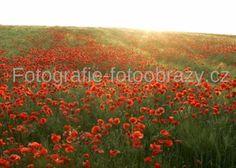 Pole s vlčími máky už kvetou