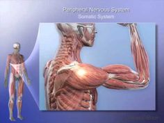 Nervous System Lesson 2: Organization of the Nervous System - YouTube