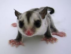 Squeak our little white face joey is super light and was born here at NH Sugar Gliders.