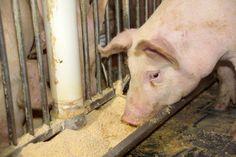 #ProductionAnimale Photo d'illustration: Alimentation du porc (crédits: The United Soybean Board / Flickr Creative Commons Attribution 2.0 Générique (CC BY 2.0)) Livestock, Adoption, Creative, Illustration, Circular Economy, Life Hacks, Pork, Food, Animaux