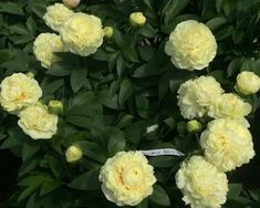Luna Fortuna - Paeonia 'Luna Fortuna' is an Early Herbaceous Hybrid Flower-in-flower, double, 1 flower per stem, 5 inches (12½ cm) in size.  Fragrant. Blooms with 'Vanilla Schnapps' and 'Little Corporal'. 1½ inch (3½ cm) yellow flower buds, opening to 5 inches heavy filled flowers. Carpels green, normally 2, very hairy; stigmas dark pink. Pollen-bearing stamens, light green filaments. No seeds. Medium green broad foliage. Strong upright stems of 32 inches length (80 cm) ... www.peonyshop.com