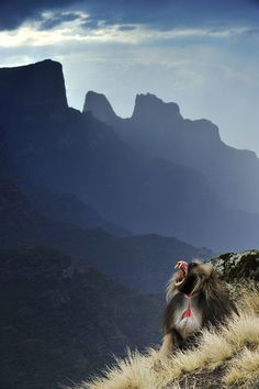 The Simian King by slavik.  Mountain baboons in Ethiopia,  slowly losing their habitat to global warming ,  literally