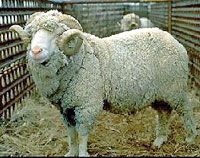 Spinning your own yarn - from how to pick what sheep to raise - to knitting the final product.