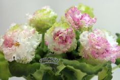 РС-Румяная Весна, больше фото на странице http://shop.violaclub.lg.ua/katalog/fialki/novinki-rs/standartyi